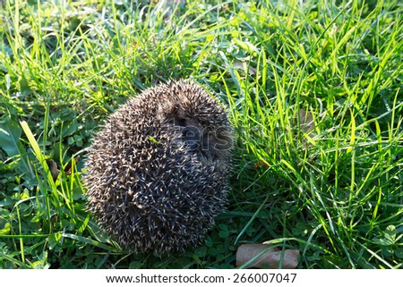 Little spiny hedgehog on a green grass