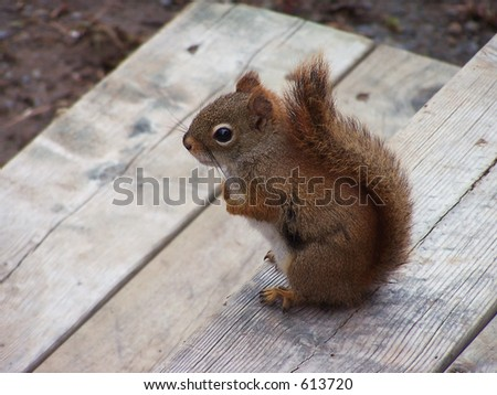 Little squirrel on deck step.