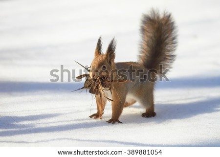 little squirrel running around in the snow with a bark for the nest - stock photo