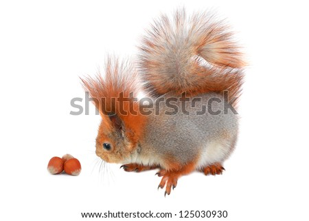 little squirrel with nuts on a white background - stock photo