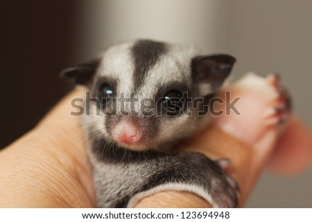 little sugar glider on woman hand