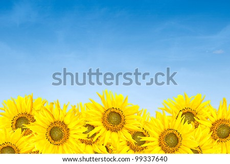 little sunflowers over blue cloudy sky background in summer