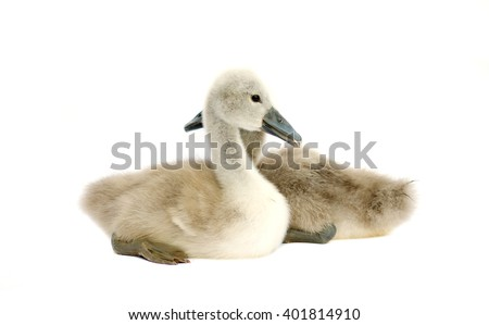 little swan on a white background - stock photo