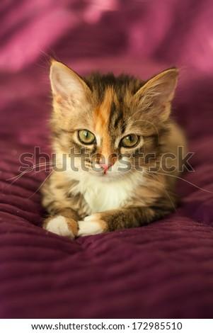 Little tabby kitten lying on  purple background - stock photo