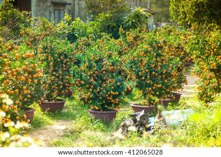 Little tangeries trees in pots in a garden. These trees are used as a holiday decoration in Asia. - stock photo