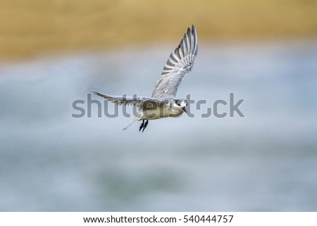 Little tern in Kalpitiya nature reserve, Sri Lanka ; specie Sterna albifrons family of Laridae