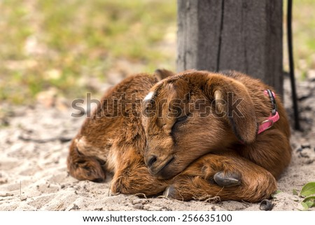Little tiny newborn baby goat kid curled up and sleeping outside on a farm or ranch alone looking adorable cute fluffy peaceful exhausted unaware - stock photo