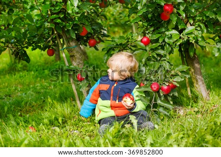 Little toddler boy of two years picking red apples in an orchard. - stock photo