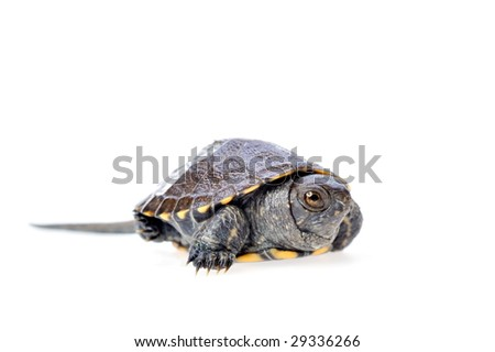 little turtle isolated on white background - stock photo
