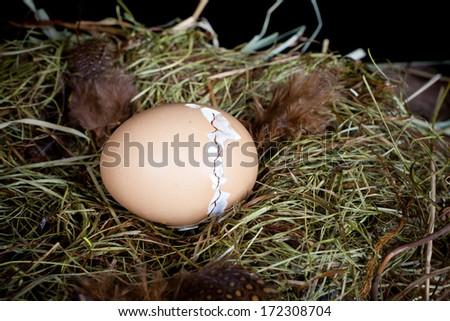 Nido de la paloma de luto con los huevos en terreno completamente plano