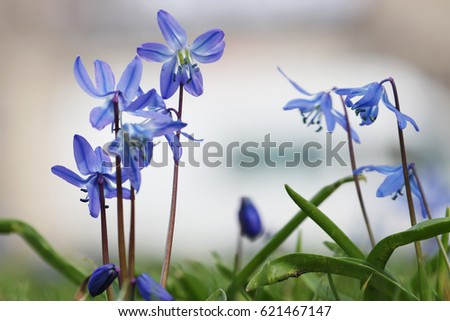 little violet blue squill flowers in early spring
