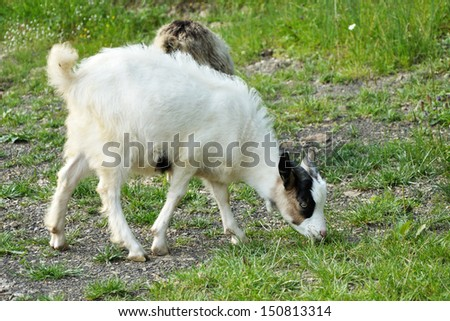 little white and black goatling with horns