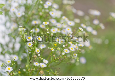 Little white daisy flower and grass for nature agriculture abstract background - stock photo