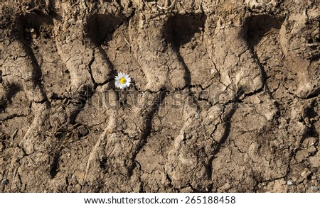 Little white daisy in tire track - stock photo