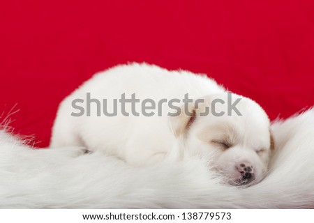 little white dog on red background