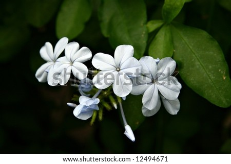 Little white flower of Cape leadwort (Plumbago auriculata) on a dark background with green leaves - stock photo
