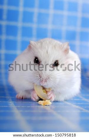 little white hamster eating pumpkin seed on blue background  - stock photo