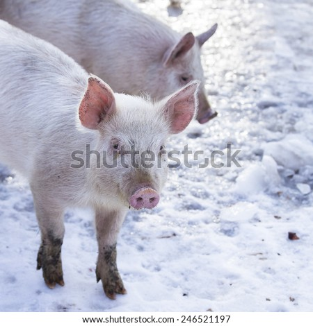 Little white pigs on a New England farm in the winter.