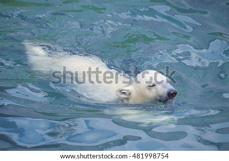 Little white polar bear in water