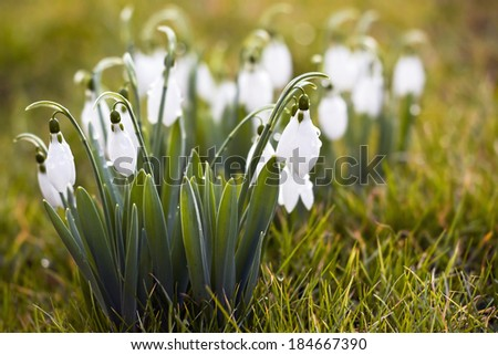Little white snowdrops in Winter - stock photo