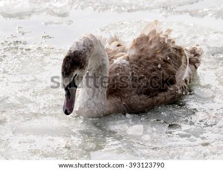 little white swans - Cygnus - stock photo