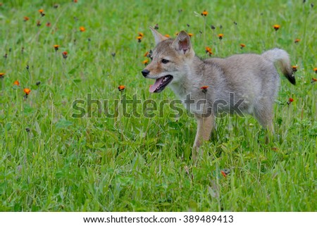 Little Wolf Pup in green grass and wildflowers.