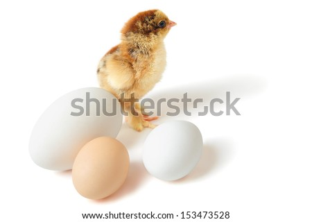 Little yellow-brown Brahma chick with three eggs of different size over white background