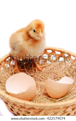 Little yellow chicken and egg-shell in the nest isolated on white background - stock photo