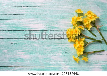 Little yellow  daffodils  flowers on turquoise  painted wooden planks. Selective focus. Place for text.  - stock photo
