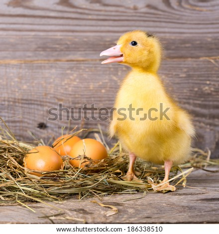 little yellow duckling and egg - stock photo