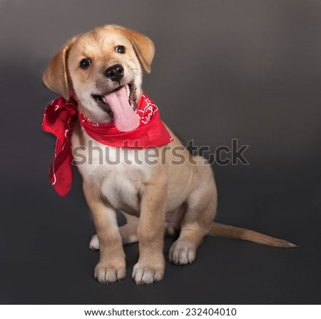 Little yellow puppy in red bandana sitting on gray background