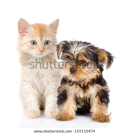 little Yorkshire Terrier and kitten. isolated on white background - stock photo