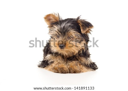 little Yorkshire Terrier isolated on a white background