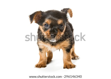 Little Yorkshire Terrier puppy, aged one month and a half, isolated on white background. - stock photo