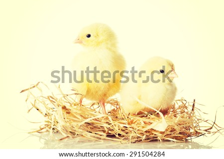 Little young chickens on nest - stock photo