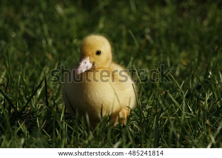 Little young yellow duck sitting in grass