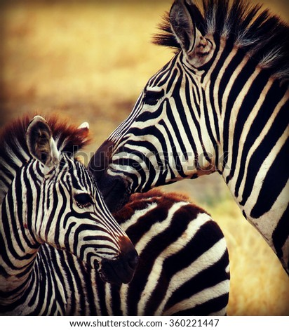 little zebra with his mother photographed during a African safari