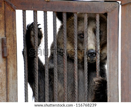 Live bear behind grids of a cage