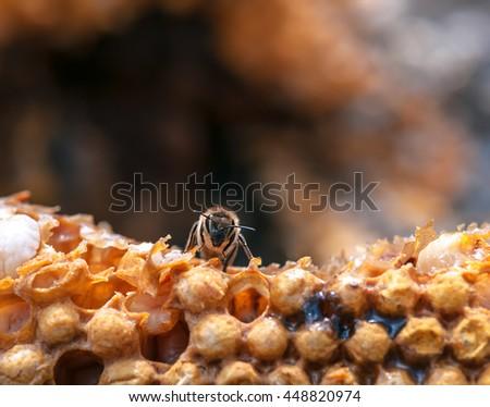 live bee on the honeycomb - stock photo
