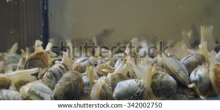 Live Clams - stock photo