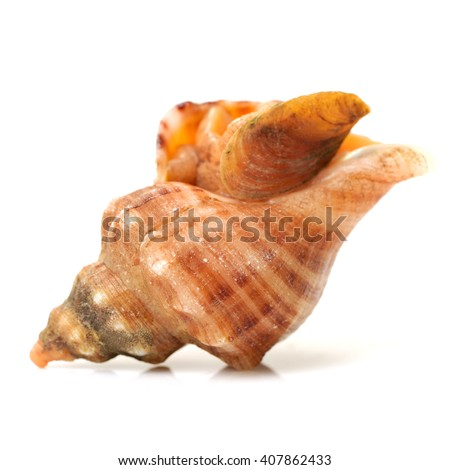 live conch on white background
