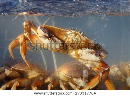 Live Crabs for Sale. Fresh, live crab for sale off a crab boat at Fisherman's Wharf.  - stock photo