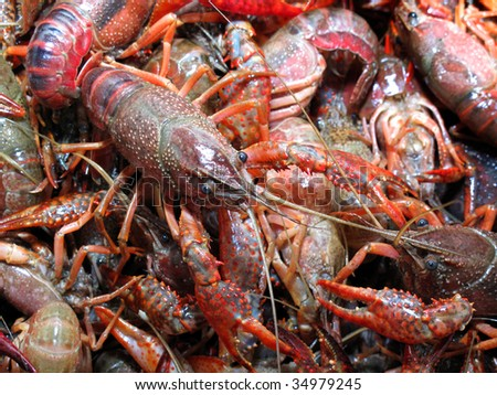 Live crawfish ready for boiling with large one on top - stock photo