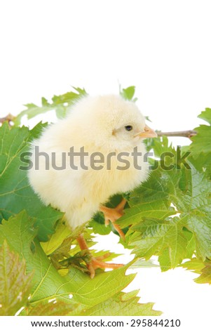 live little chicken animal isolated on white background on green leaves - stock photo