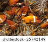 Live lobsters at fish market at Fishermans Wharf in San Francisco - stock photo