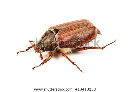 live may bug (chafer) on white background