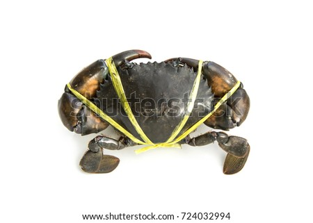 Live Mud Crab Scylla serrata male large claws was tied with straw rope from market Thailand. Raw material main ingredients in the cooking. isolated on white background.