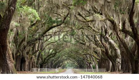 Live oak trees create a tunnel effect. - stock photo