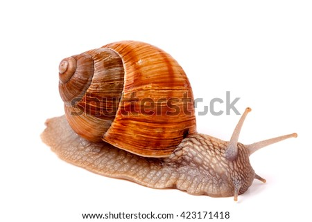 Live snail crawling on a white background close-up macro - stock photo