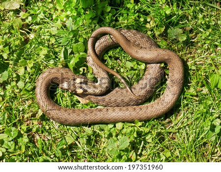 live snake on the grass - stock photo